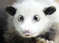 A cross-eyed opossum called Heidi is seen in the zoo in Leipzig, Germany, on Dec. 15.