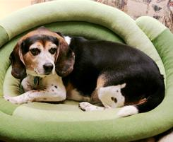 A dog sits in an eco-friendly dog bed in Pikesville, Md.