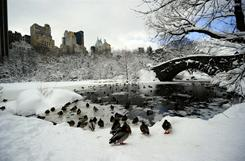 Ducks wade into icy water in Central Park in New York City after a rare thunder-snow storm paralyzed air and ground travel over a vast area from Washington to as far north as Boston.