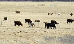 Cattle graze on a dry pasture on Dec. 15 near Hondo, Texas. Dry conditions persist in parts of the state.