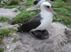 Wisdom, a Laysan albatross at least six decades into her life, has startled federal biologists by raising a chick.