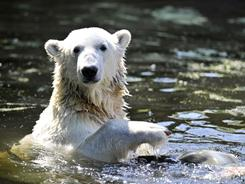 Knut, the world's most famous polar bear, died suddenly Saturday.