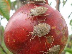 Stink bugs swarm over and feed on a nectarine. Sightings of the pest have been reported in 33 states, an increase of eight states since last fall.