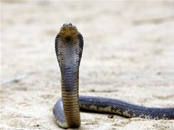 The missing serpent is likely younger than this one. The 20-inch female is an adolescent.