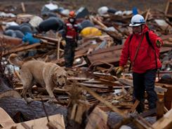 A member of the NPO Japan Rescue Dog Association and his canine search for victims during a joint operation with the Metropolitan Police Department on Saturday in Rikuzentakata, Miyagi Prefecture.