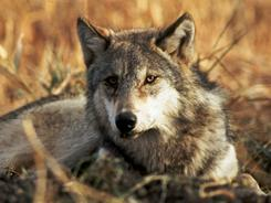A gray wolf, similar to those affected by a judge's order in Idaho and Montana.