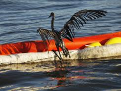 An oil-drenched bird struggles to climb onto a boom from the waters of Barataria Bay, La., during last year's oil spill.