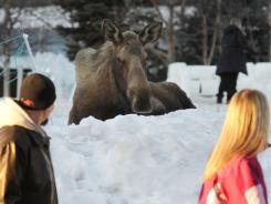 People walk past a moose resting in Anchorage's Town Sqaure Park after it reportedly attacked a woman who approached the moose to pet it on March 7.