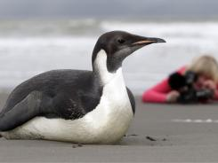 A woman photographs the lost Emperor penguin lying on Peka Peka Beach of the Kapiti Coast in New Zealand Wednesday.