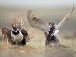 A male sage grouse fights for the attention of female sage grouse southwest of Rawlins, Wyo.