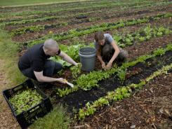 Kyle Bailey, executive chef at Birch & Barley, left, and farm manager Maureen Moodie harvest arugula on the farm at Woodlawn on May 14 in Alexandria, Va.