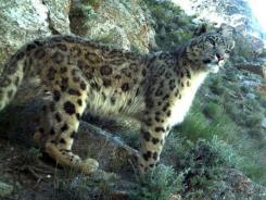 In this Aug. 24, 2009 photo taken by a trap cameray, a snow leopard stands on a hill in a jungle in Wakhan Corridor in northeastern Afghanistan.