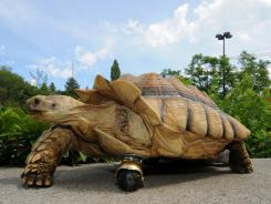 """Gamera, a 12-year-old, African spur-thighed tortoise, shows off his new front """"leg"""" at Washington State University in Pullman, Wash., on Friday."""
