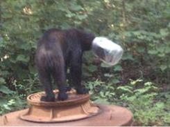 A bear with a jar stuck on its head is seen in Cocke County, Tenn.