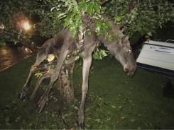 A seemingly intoxicated moose is discovered entangled in an apple tree by a stunned Swede in Goteborg, Sweden,  late Tuesday.