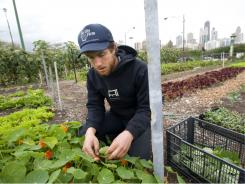 Dan Hurowitz, 24, helps harvest nasturtium at City Farm in Chicago.