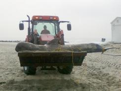 A public works employee removed the carcass of a 740-pound pilot whale that died shortly after washing up on a beach in Allenhurst, N.J. The whale had been shot and died from an infection in its jaw that prevented it from eating.