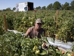 Jeremy Gonzalez picks tomatoes on a farm in Steele, Ala., on Monday. Much of the crop is rotting as many of the migrant workers who work these fields have moved after Alabama's immigration law took effect last week.