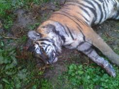 A rare Bengal tiger that was shot and killed near Fred Polk's property lies dead on Wednesday. Ohio is one of eight states that have little to no regulation of exotic animals.