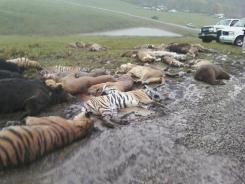 Carcasses lie on the ground on Wednesday in Zanesville, Ohio.