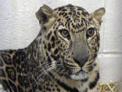 One of three leopards captured by authorities a day after their owner, Terry Thompson, released dozens of wild animals and then killed himself near Zanesville, Ohio, rests at the Columbus Zoo.
