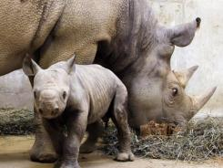 This file photo provided Jan. 25, 2011, by the Saint Louis Zoo, shows a black rhinoceros calf and his mother. The Western Black Rhino of Africa, a species related to these black rhinos, is said to be extinct.