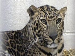 One of three leopards that were captured by authorities a day after their owner, Terry Thompson, released dozens of wild animals and then killed himself near Zanesville, Ohio, is seen at Columbus Zoo and Aquarium.