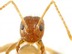 Crazy ants are making their way through Florida and the Southeast.
