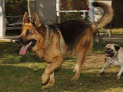 Luis Calderon's German shepherd, Buddy, and his wife's dog, Lola, right, run in El Monte, Calif. Calderon, a self-employed handyman, has a wife and two kids and says work is scarce. If Buddy needed a vet, Calderon says he would have to go through public services or use credit.
