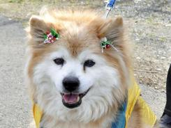 Pusuke, the world's oldest living dog according to Guinness World Records, is shown in Sakura in Tochigi Prefecture in 2010, north of Tokyo.
