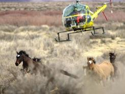 The Bureau of Land Management's internal review of a wild horse roundup in Nevada in Sept., found some mustangs were kicked in the head, dragged by a rope around the neck and repeatedly shocked with electrical prods, but the agency concluded none of the mistreatment rose to the level of inhumane.