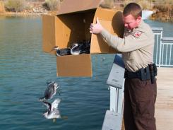 A Utah Division of Wildlife Resources employee frees some surviving grebes on Tuesday at Stratton Pond in Hurricane, Utah, after thousands of the birds crash landed throughout Southern Utah on Monday night.