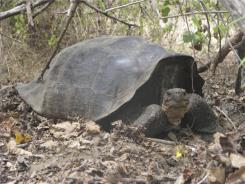 A giant Galapagos tortoise species thought to have gone extinct may still exist, genetic analysis reveals.