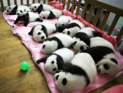 Cuter than the American kung fu version:  Giant panda cubs nap at a nursery in the research base of the Giant Panda Breeding Center in Chengdu, China, on Sept. 26.