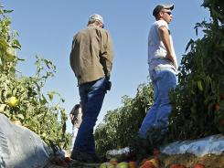 Tomato farmer Chad Smith, right, looks over one of his fields of in Steele, Ala., Oct. 3. Only a few of his field workers showed up after the new immigration law took effect.