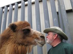 Princess, a Bactrian camel famous for her ability to correctly predict the winner of football games, nuzzles on Thursday with John Bergmann, general manager of Popcorn Park Zoo in Lacey Township, N.J.