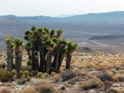 A group of yucca trees sit atop Yucca Mountain, near Mercury, Nev., in this 2003 file photo.