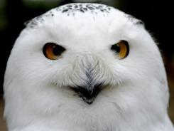 Snowy owls are showing up in places they aren't always seen.