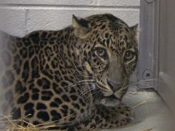 This male spotted leopard suffered spinal cord damage and was unable to breathe on its own after an enclosure door fell on it.