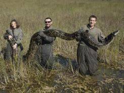 Researchers hold a Burmese python, weighing 162 pounds and stretching more than 15 feet long, that was captured in 2009 in Everglades National Park.