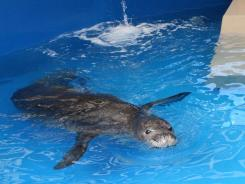 The Hawaiian monk seal known as KE18 is seen in a holding tank at the Waikiki Aquarium in Honolulu on Feb. 1.