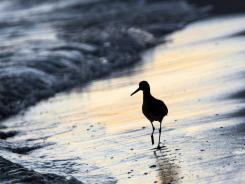 In this November 2010 photo, a bird searches for food in the surf in Orange Beach, Ala.