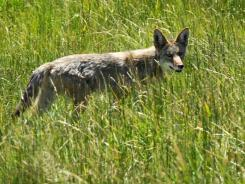More states are allowing night hunting to reduce coyote and other animal populations deemed destructive or dangerous.