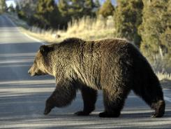 A grizzly bear walks across a road in May 2009 near Mammoth, Wyo., in Yellowstone Park.