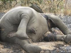 At least half of the 400 elephants in Cameroon's Bouba N'Djida National Park have been killed recently by poachers.