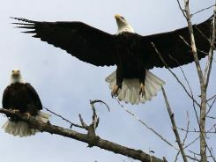 In this March 7, 2006 file photo, a bald eagle takes flight from a tree overlooking the Kootenai River near Bonners Ferry, Idaho.