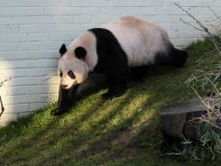 A giant female panda named Tian Tian is seen exploring her enclosure at Edinburgh Zoo in Edinburgh, Scotland, in December.