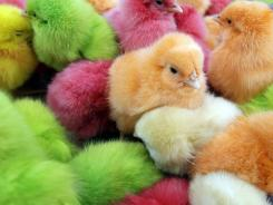 Chicks dyed with artificial colors are sold March 28 at a street market in Beirut.