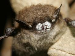 Federal officials are granting $1.4 million to scientists investigating deadly white-nose syndrome in bats.