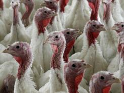 Turkeys raised without the use of antibiotics are seen at David Martin's farm, in Lebanon, Pa. The same life-saving drugs that are prescribed to treat everything from ear infections to tuberculosis in humans also are used to fatten the animals that supply the chicken, beef and pork we eat every day.
